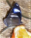 Апатичная бабочка
